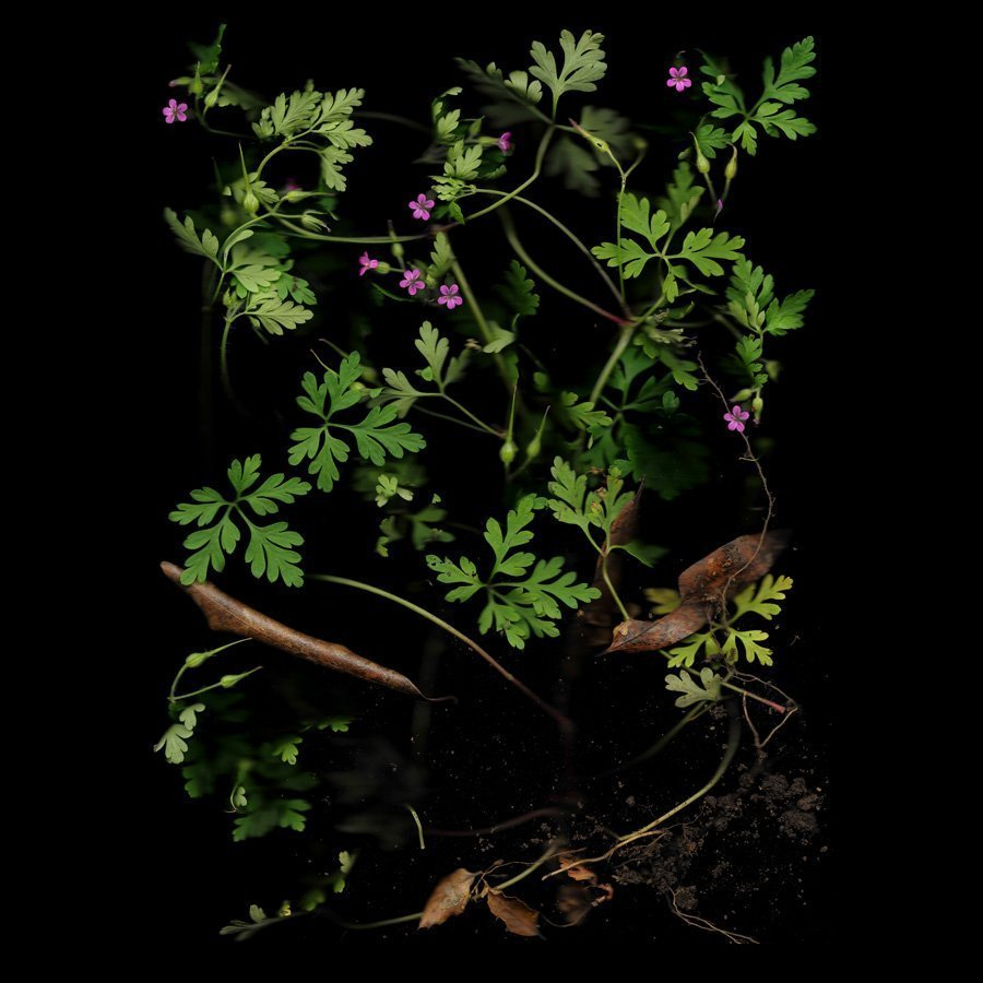 Cranesbill, Wild Geranium, Series: The World at Our Feet