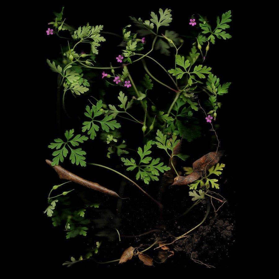 Cranesbill, Wild Geranium, Series: The World at Our Feet