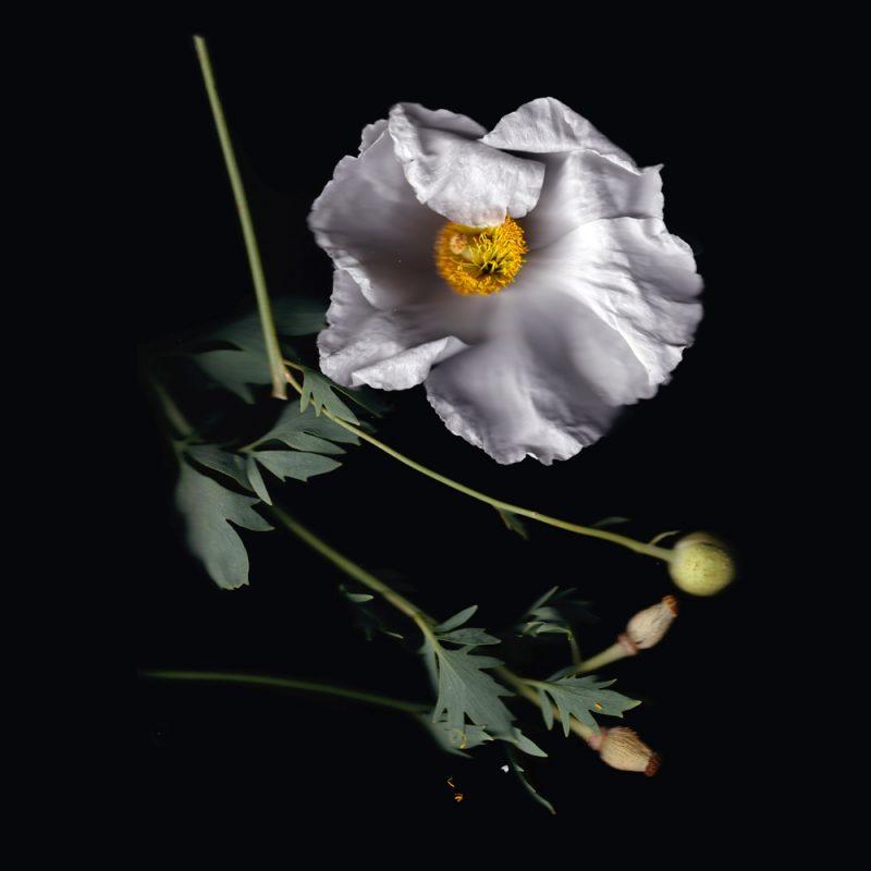 Queen of California flowers